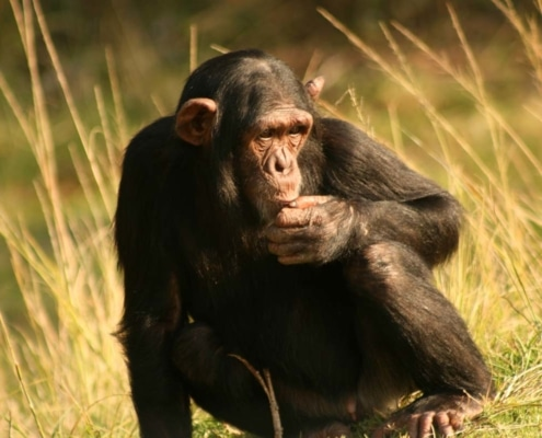 Chimp-gowild-bild