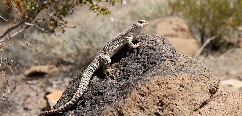 DesertIguana-gowild-slider