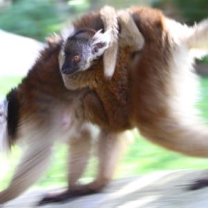 Lemur-gowild-bild