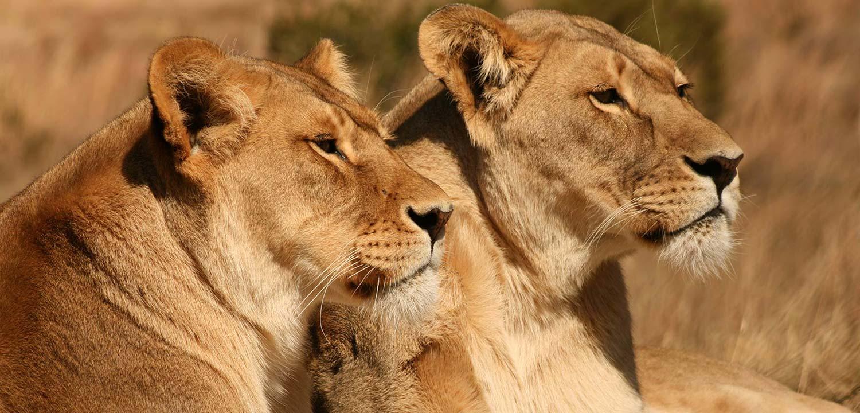 Lioness-gowild-slider